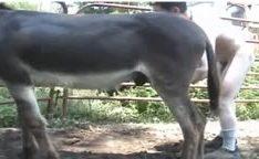 Homem fodendo com burro no zoofilia gay