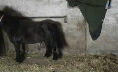 Mini cavalo arrombando mulher no video de zoofilia